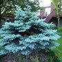 Globosa Colorado Blue Spruce