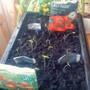 Tomato seeds germinating 10-03-2012 (Solanum lycopersicum (Tomato))
