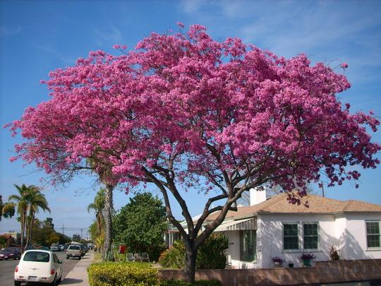 Tabebuia impetiginosa - Pink Ipê Tree Flowering (Tabebuia impetiginosa - Pink Ipê Tree)