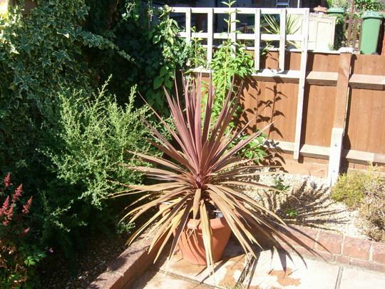 Cordyline palm
