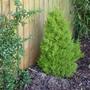 Cupressus Goldcrest  (Cupressus macrocarpa (Monterey Cypress))