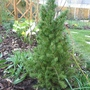 Pinus_albertiana_conica