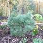 Pinus sylvestris watereri (Pinus Sylvestris 'Watereri')