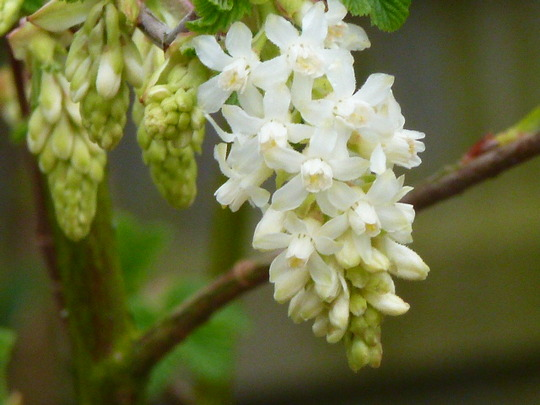 Ribes  ....   '   White Icicle  '  (Sanguineum  White Icicle)
