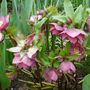 Another unknown hellebore