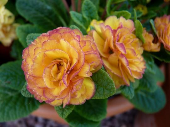 Primula 'Nectarine' (Belarina Rosette TM)
