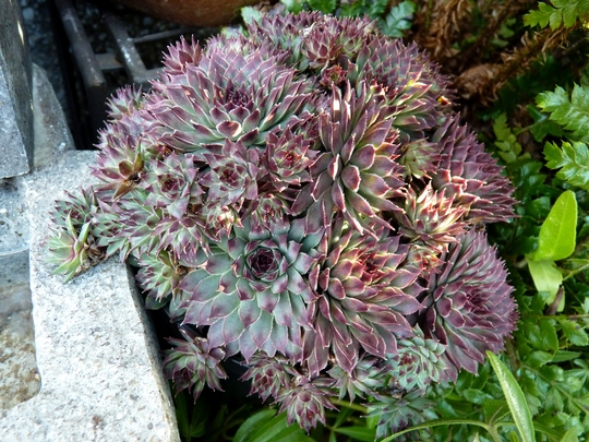 'Sir William Law'...very snooty sempervivum ;)