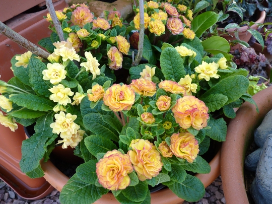 Primula 'sunshine suzie' and 'nectarine' together under a shrub in a pot