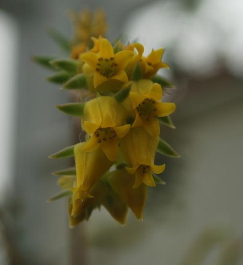 Succulent Flowers...... (succulent..)