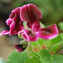 Spanish Angel Pelargonium.. (Pelargonium Spanish Angel)