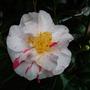 Camellia Finlandia variegata