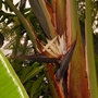 Strelitzia nicolai (Giant Bird of Paradise) (Strelitzia nicolai (Giant Bird of Paradise))