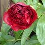 Penny rose