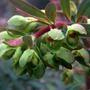 Euphorbia x martinii (Euphorbia x martinii)