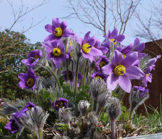 Pulsatilla vulgaris pale lilac 2012 1 a
