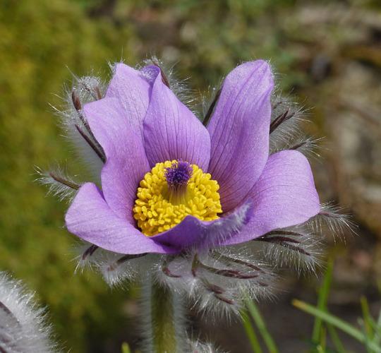 Pulsatilla vulgaris pale lilac 2012 4 a