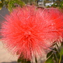 Calliandra haematocephala - Powder Puff (Calliandra haematocephala - Powder Puff)