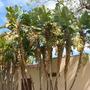 Strelitzia nicolai - Giant-Bird-of-Paradise