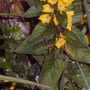 Lysimachia_img00027_edited