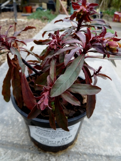 Euphorbia amygdaloides 'Amy Purpurea'    (Euphorbia amygdaloides 'Amy Purpurea')