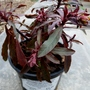 13.3.12_euphorbia_amygaloides_amy_purpurea_p1020389_edited