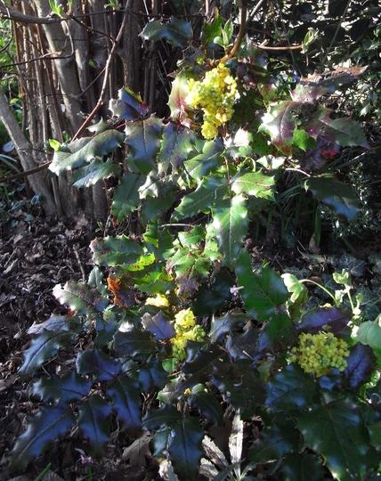 Mahonia aquifolium 'Orange Flame' - 2012 (Mahonia aquifolium 'Orange Flame')