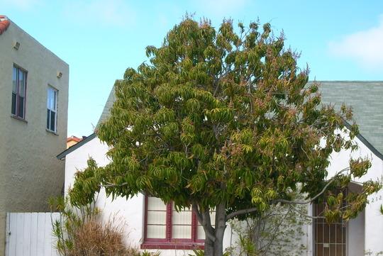 Mangifera indica - Mango Tree Flowering (Mangifera indica - Mango Tree)