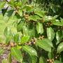 Ficus aspera - Sandpaper Fig (Ficus aspera - Sandpaper Fig)