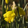 Narcissus 'St. Patrick's Day' (narcissus)