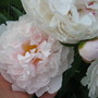 One of the smaller axial blossoms... (paeonia)