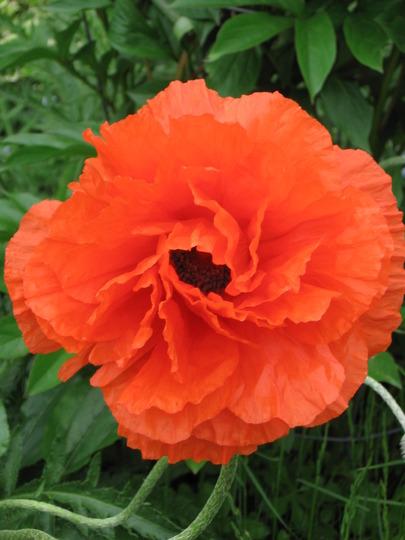 poppy (Papaver orientale (Oriental poppy))