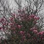 My neighbours Magnolia........