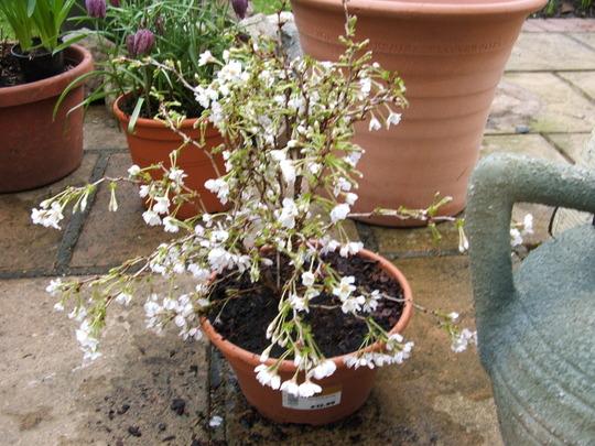 Prunus incisa koyo-no-mai
