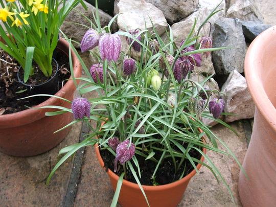 Frittillarias