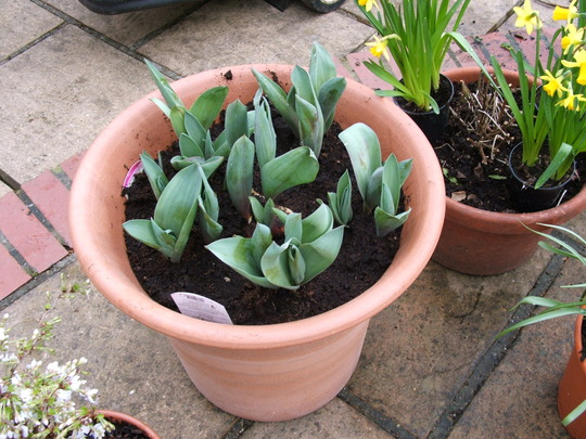 Tulips Princess Irene