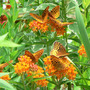 7 Great Spangled Fritillaries (Asclepias tuberosa)