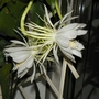 Night Queen (Dama da Noite) (Epiphyllum oxypetalum)