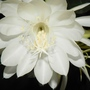 A closer view of the Night Queen (Epiphyllum oxypetalum)
