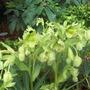 Hellibore grandiflora