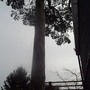 Another view of one of the Scots Pine trees.