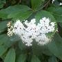 Viburnham Tinus in flower.