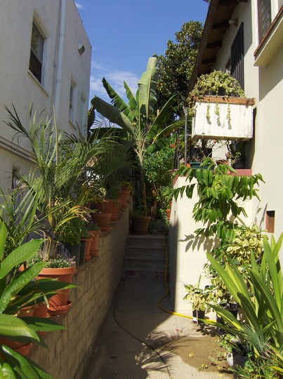 Cananga odorata - Ylang Ylang Tree (Cananga odorata - Ylang Ylang Tree)