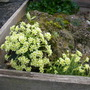 Saxifrages growing in tufa-2 (Saxifraga)