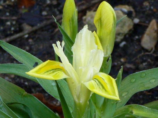 """Iris  """"  Danfordiae """""""