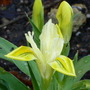 Iris_danfordiae