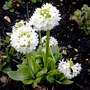 Primula Denticulata    Drumstick Primrose for Bloomer