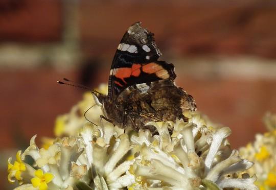 Red admiral on Edgeworthia chrysantha