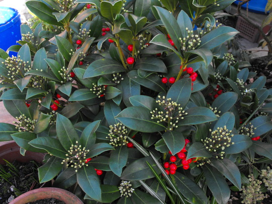 My other Skimmia