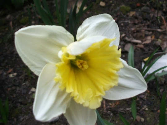 Narcissus Mount Hood  (Narcissus)