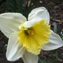 Narcissus Mount Hood  (Narcissus)